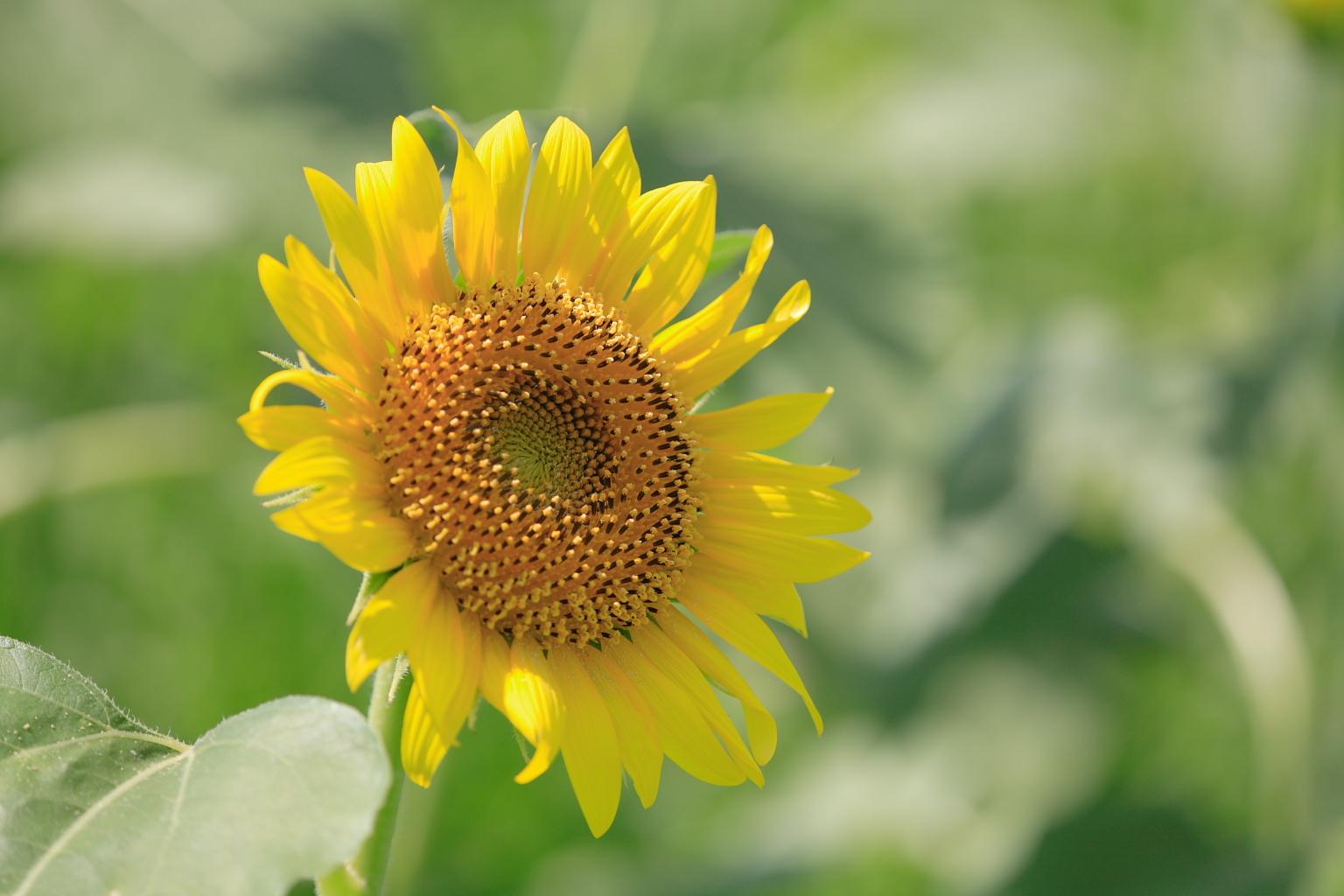 sunflower_63.jpg