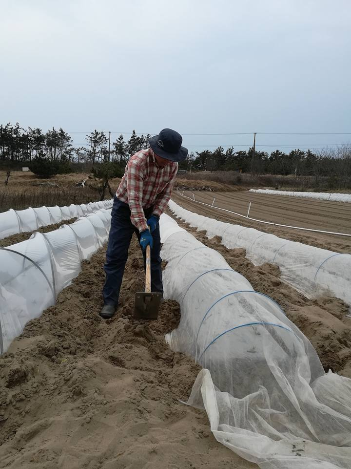 トウモロコシの定植1