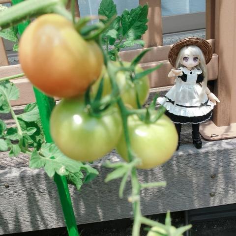 2018-07-26-トマト発見②