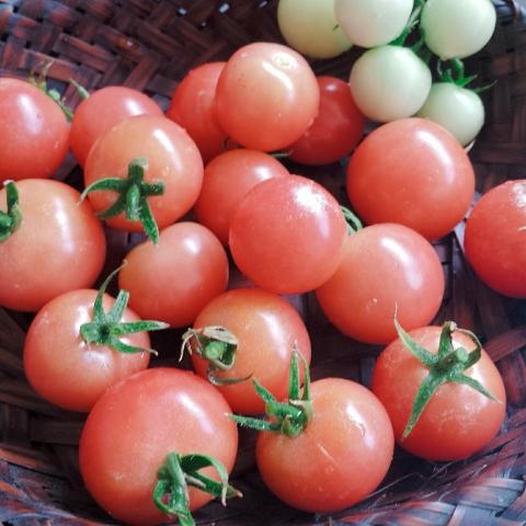 2018-07-26-トマトの収穫②