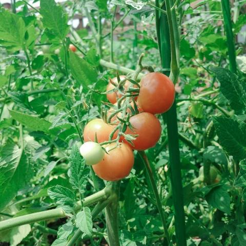 2018-07-26-トマトの収穫①