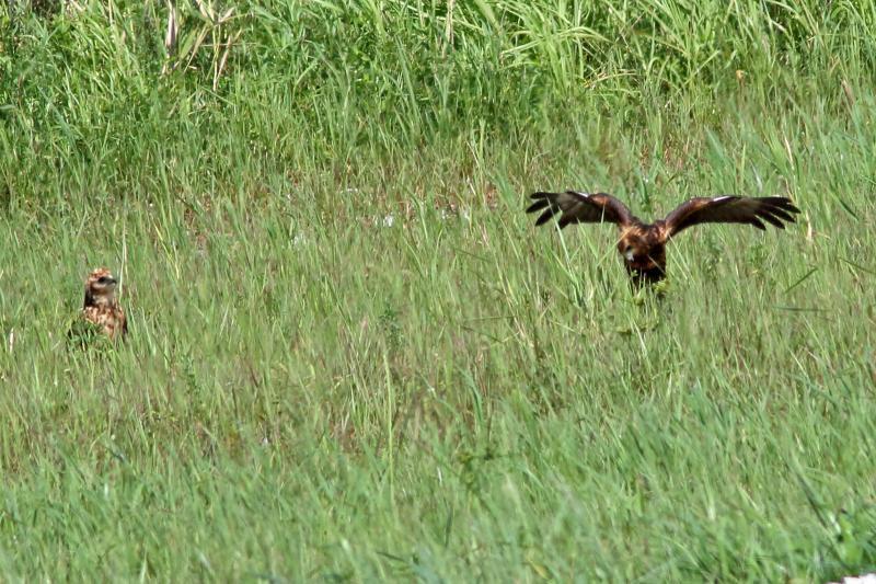 チュウヒ幼鳥2