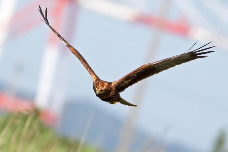 チュウヒ幼鳥36