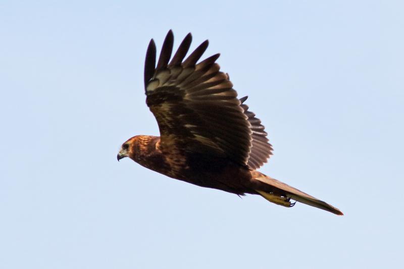 チュウヒ幼鳥39