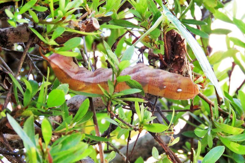 キイロスズメガ幼虫1