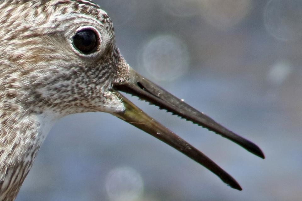 オバシギ幼鳥15