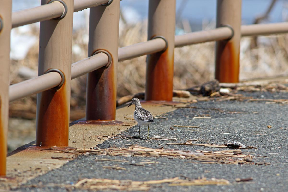 オバシギ幼鳥1