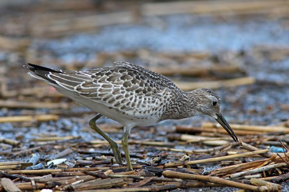 オバシギ幼鳥4