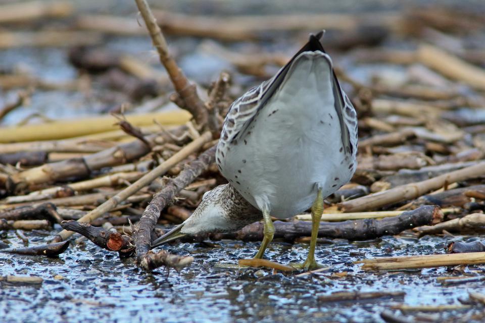 オバシギ幼鳥6