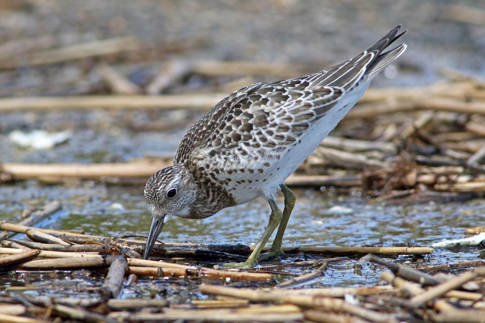 オバシギ幼鳥5