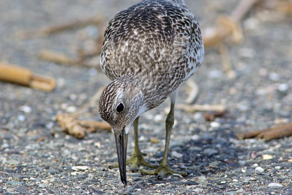 オバシギ幼鳥13