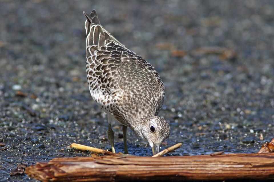 オバシギ幼鳥8