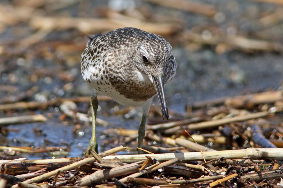 オバシギ幼鳥9