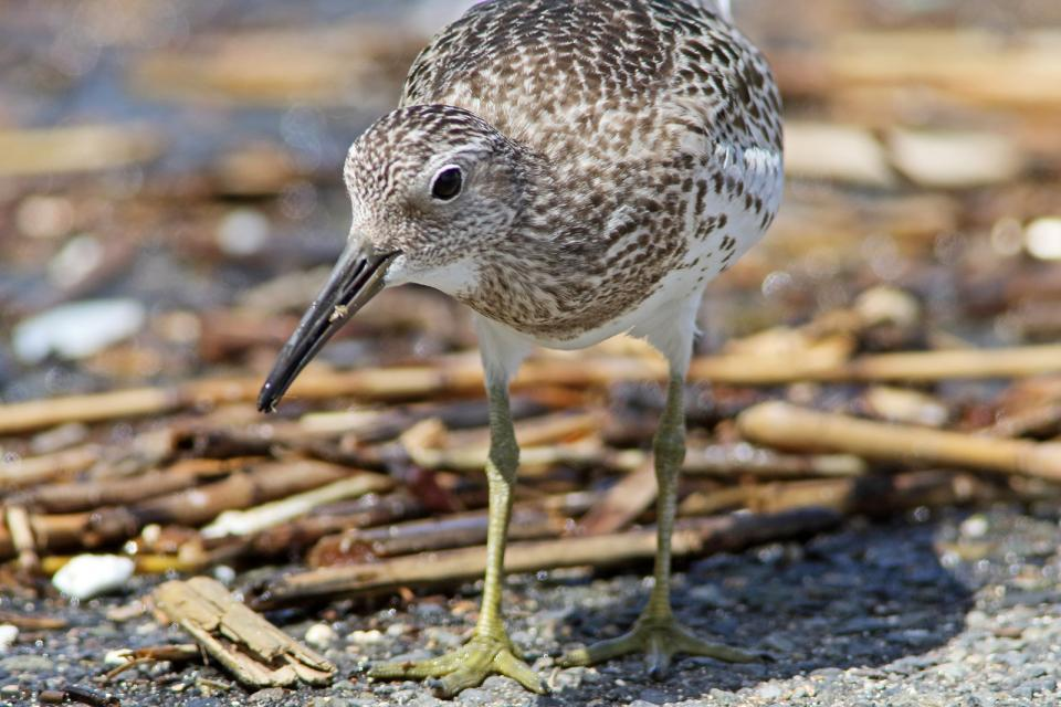 オバシギ幼鳥10
