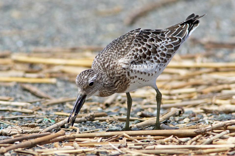 オバシギ幼鳥14