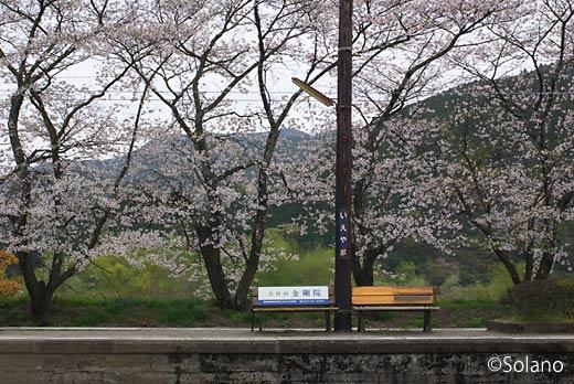 大井川鉄道・家山駅、プラットホーム沿いの桜