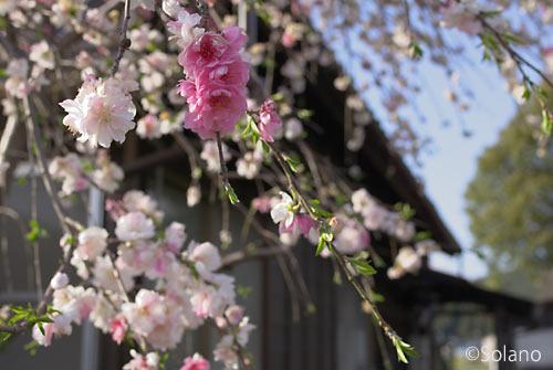 大井川鉄道・抜里駅、木造駅舎の脇に咲く桜