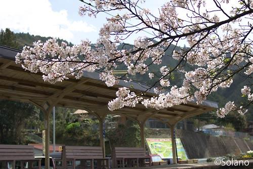 大井川鉄道・田野口駅、プラットホームと桜