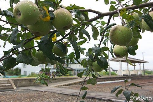 JR五能線・藤崎駅構内のリンゴの木