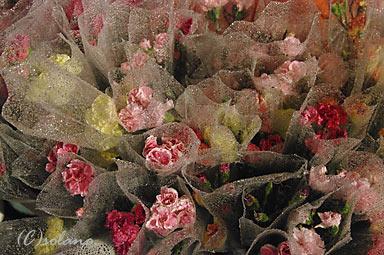 香港の年末・大晦日、旧正月前の年宵花市。薔薇の花