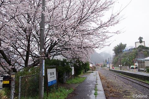 JR西日本・三江線、因原駅の廃ホームで咲き誇る桜