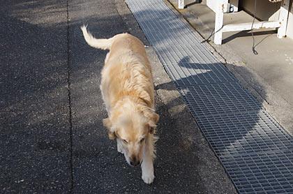 見老津-江住の駅間徒歩で出会ったゴールデンレトリバー