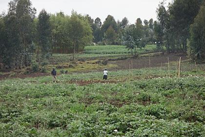 ルワンダ・ゴリラトレッキングの途上、山のふもとの畑