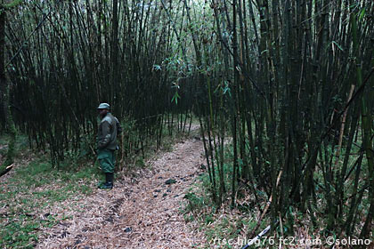 ルワンダ、ゴリラトレッキング、竹薮の中で足止め