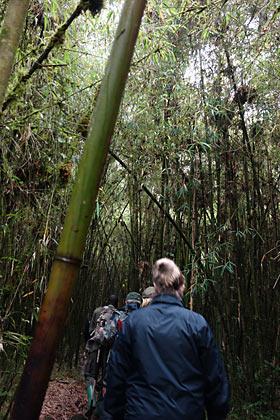 ルワンダ、ゴリラトレッキング、竹薮の中で2時間以上。抑止の後…