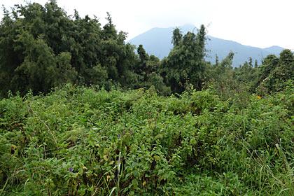 ゴリラトレッキング、ゴリラを目指しルワンダの山道へ…