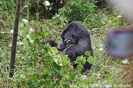 ルワンダ・ゴリラトレッキング、ゴリラを求め歩き続けた末…