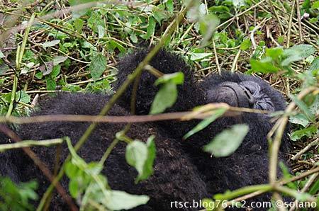 ルワンダ・ゴリラトレッキング、寝転がるゴリラ