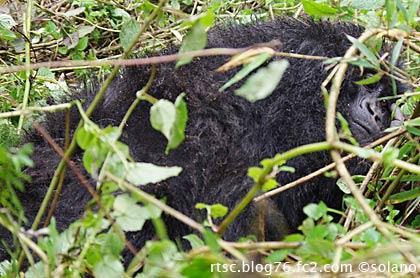 ルワンダ・ゴリラトレッキング、寝そべるマウンテンゴリラ