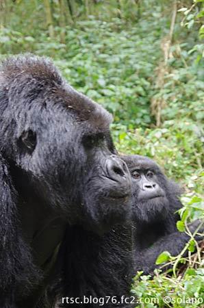 ルワンダ・ゴリラトレッキング、ゴリラの群れ