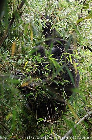 ルワンダゴリラトレッキング、山奥に進むゴリラの群れ