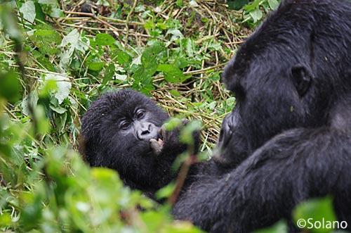 ルワンダ、ゴリラトレッキング、母子ゴリラ