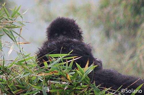 ルワンダ・ごりれトレッキング、竹の上の赤ちゃんゴリラ