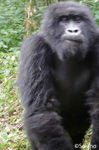 ルワンダ、ゴリラトレッキング一行を威嚇すうゴリラ