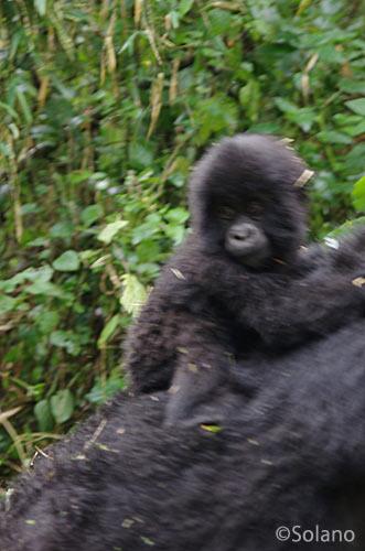母親の背中にしがみつく赤ちゃんゴリラ