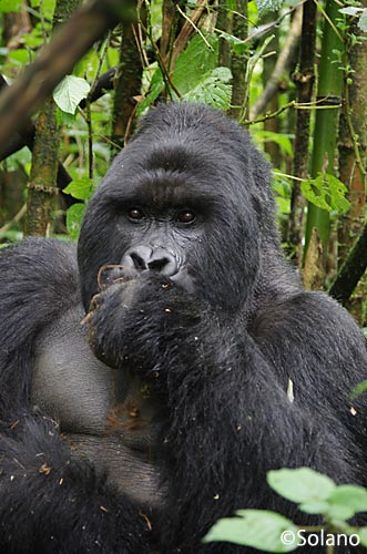 ルワンダ・ゴリラトレッキング、雄の成獣・シルバーバック