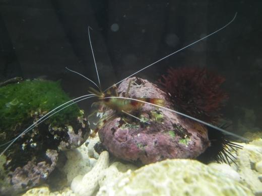 オトヒメエビが茶色い (2)