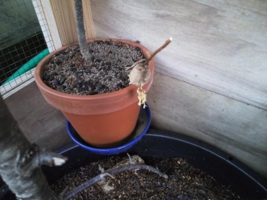 カマキリの孵化 (3)