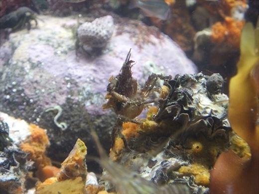 芝崎海岸で捕ってきた生き物 (16)