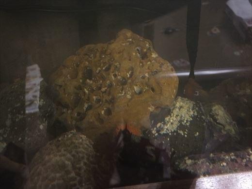 タコが卵を! (4)