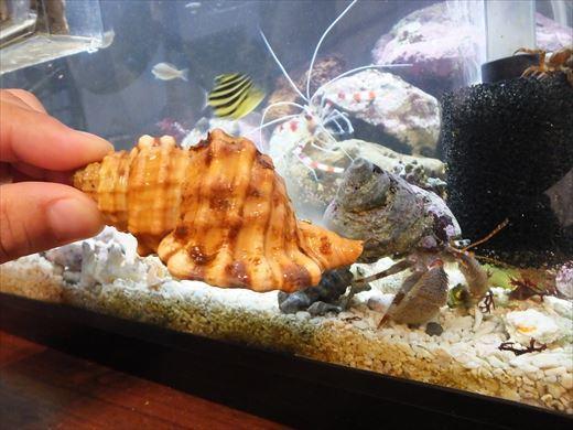 貝殻お気に召さない? (6)