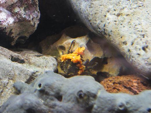 タコ卵孵化 (3)