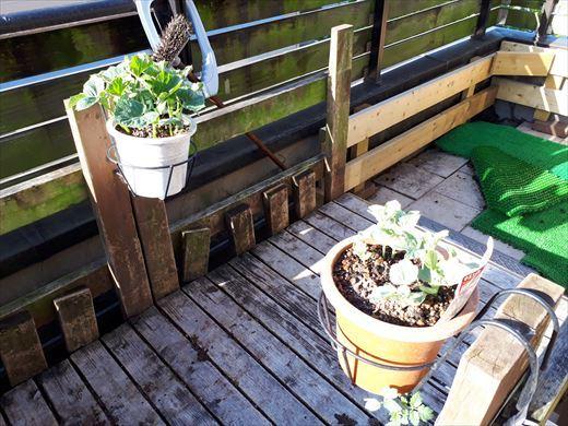 野菜育てる (1)