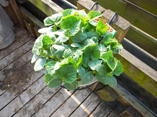 野菜育てる (3)