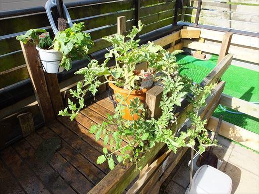 野菜育てる (10)