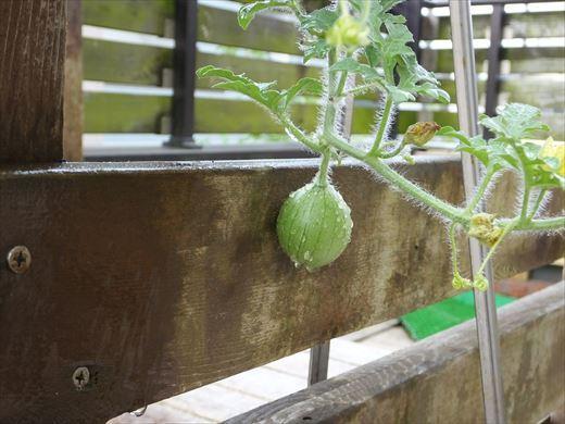 野菜育てる (14)